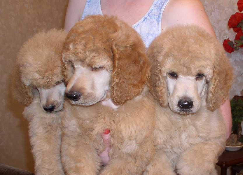 Apricot Standard Poodle Sunny s junior handler rivkaApricot Standard Poodle Puppy Cut